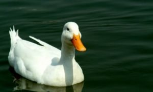 Dreaming of ducks: Meaning and Interpretation