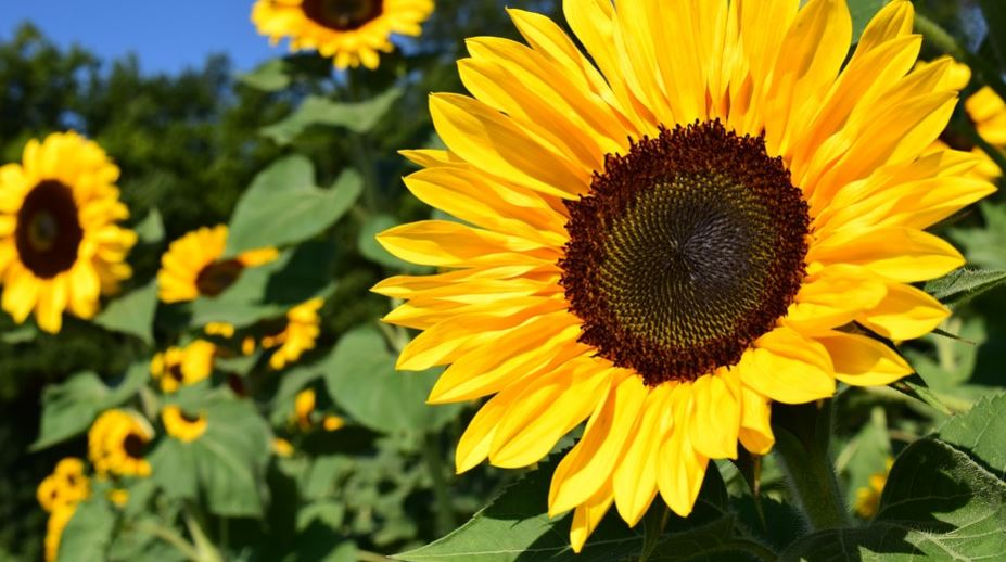 Sunflower Dream: Meaning and Interpretation