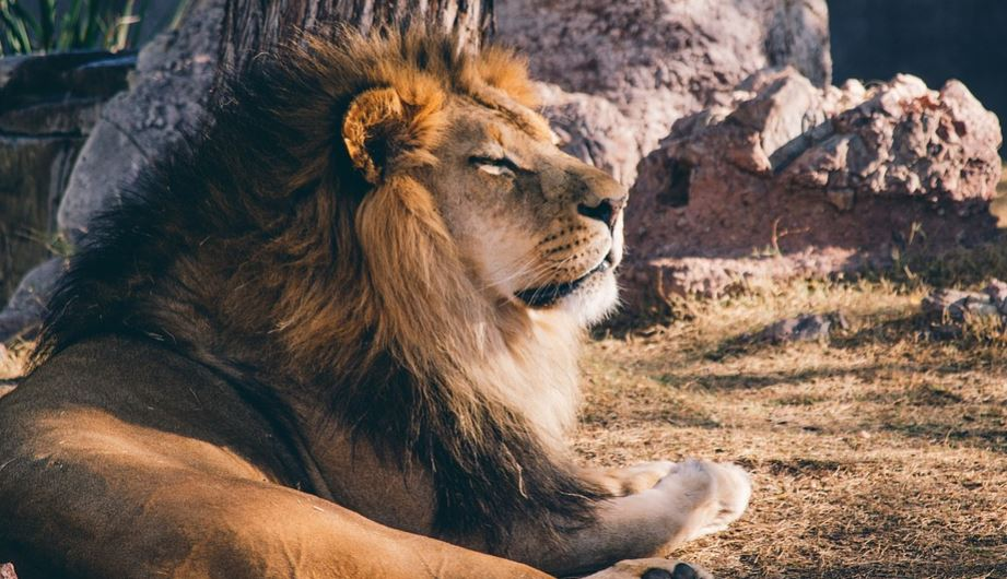 Lion in Dream: Meaning and Interpretation